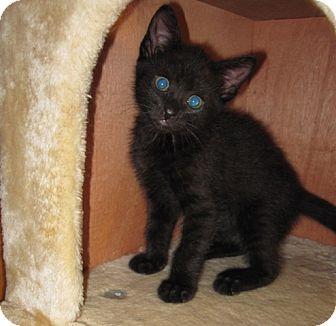 Domestic Shorthair Kitten for adoption in Edmond, Oklahoma - Rolo