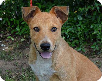 Vizsla/Labrador Retriever Mix Puppy for adoption in Westport, Connecticut - *Lola- PENDING