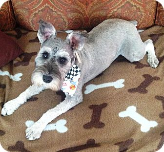 Miniature Schnauzer Puppy for adoption in Sharonville, Ohio - Arthur (Artie)