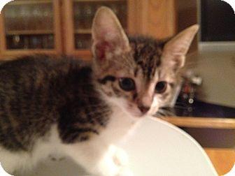 Domestic Shorthair Kitten for adoption in East Hanover, New Jersey - Sophia