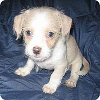 Adopt A Pet :: Pip - Chandler, AZ