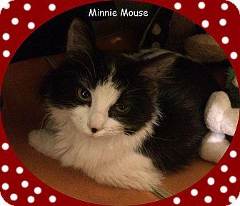 Domestic Mediumhair Kitten for adoption in Mt. Prospect, Illinois - Minnie Mouse