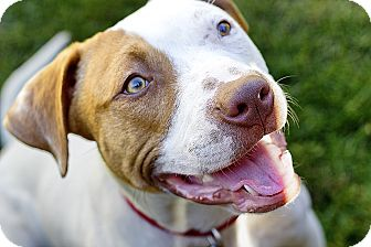 Pit Bull Terrier/American Pit Bull Terrier Mix Dog for adoption in Greendale, Wisconsin - Waldo