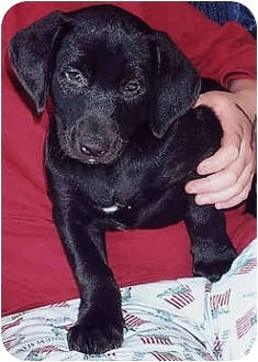 Doberman Pinscher/Labrador Retriever Mix Puppy for adoption in Owatonna, Minnesota - Fritz