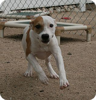Pit Bull Terrier Mix Puppy for adoption in Yucca Valley, California - Cabi Caliente