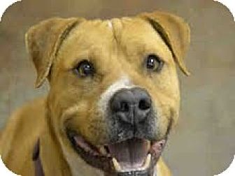 Bulldog/Pit Bull Terrier Mix Dog for adoption in Pie Town, New Mexico - DOZER