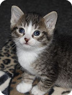 Domestic Mediumhair Kitten for adoption in Hamilton., Ontario - Toffee