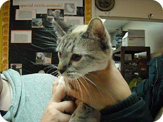 Domestic Shorthair Cat for adoption in Fort Walton Beach, Florida - Lola