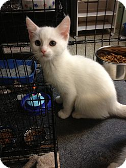 Domestic Shorthair Kitten for adoption in Sterling Hgts, Michigan - Snow Babies