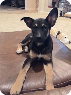 Husky Mix Puppy for adoption in Mesa, Arizona - STELLA 8 WEEK HUSKY