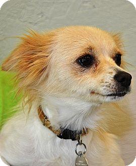 Papillon Mix Dog for adoption in Kalamazoo, Michigan - Pixie