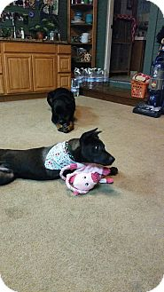 Labrador Retriever/German Shepherd Dog Mix Dog for adoption in Gustine, California - HERCULES