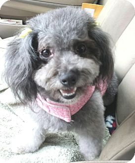 Poodle (Miniature)/Maltese Mix Dog for adoption in Encino, California - Hollly