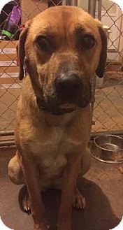 Labrador Retriever/Boxer Mix Dog for adoption in Manhasset, New York - Brittany