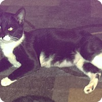Adopt A Pet :: Oreo - Kensington, MD