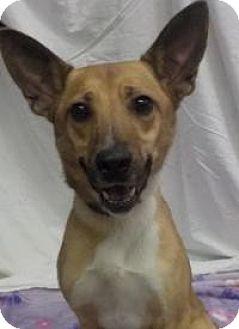 Carolina Dog Mix Dog for adoption in Breinigsville, Pennsylvania - Elle
