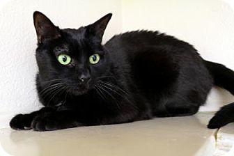 Domestic Shorthair Cat for adoption in Bellevue, Washington - Naamah