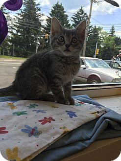 Domestic Shorthair Kitten for adoption in Trevose, Pennsylvania - Storm