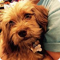 Adopt A Pet :: Goldie - Adoption Pending - Gig Harbor, WA