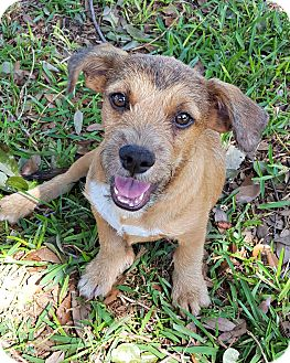 Toy Fox Terrier Mix Dog for adoption in McKinney, Texas - London
