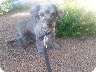 Poodle (Miniature)/Dachshund Mix Dog for adoption in Las Vegas, Nevada - Bubby