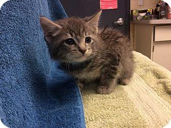 Domestic Shorthair Kitten for adoption in Janesville, Wisconsin - Sammy Davis Jr