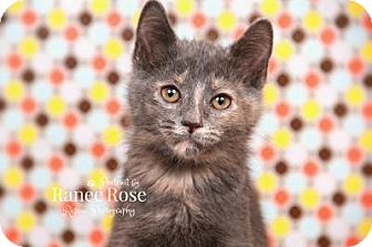 Domestic Shorthair Kitten for adoption in Sterling Heights, Michigan - Chai