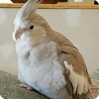 Adopt A Pet :: Salty - St. Louis, MO