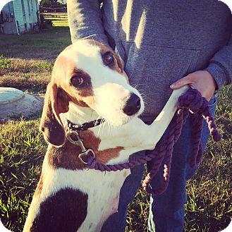 Treeing Walker Coonhound/Foxhound Mix Dog for adoption in Virginia Beach, Virginia - Sweet Pea