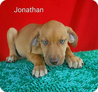 Catahoula Leopard Dog Mix Puppy for adoption in Saddle Brook, New Jersey - Jonathan