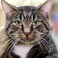 Domestic Shorthair Cat for adoption in New York, New York - Tiger T