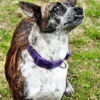 Boston Terrier/Mixed Breed (Medium) Mix Dog for adoption in Marianna, Florida - Lola