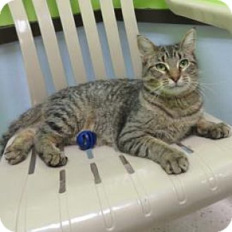 Domestic Shorthair Cat for adoption in Janesville, Wisconsin - Lou