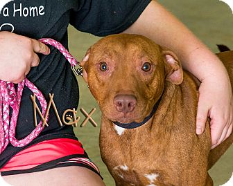 Pit Bull Terrier Mix Dog for adoption in Somerset, Pennsylvania - Max