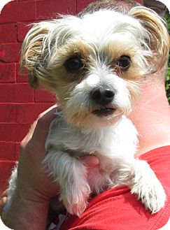 Yorkie, Yorkshire Terrier/Shih Tzu Mix Dog for adoption in Reeds Spring, Missouri - Samson