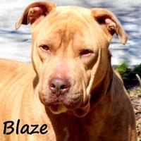 Adopt A Pet :: BLAZE - Palm Coast, FL