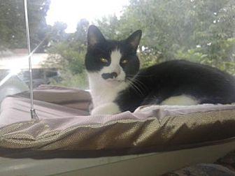 Domestic Shorthair Cat for adoption in Greensboro, North Carolina - Sophie