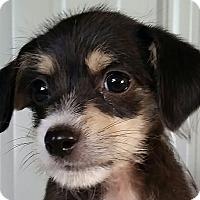 Adopt A Pet :: Adam - Lexington, KY