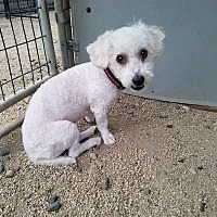 Adopt A Pet :: SCRUFFLES - Phoenix, AZ