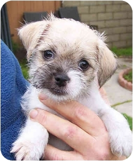 Brussels Griffon/Jack Russell Terrier Mix Puppy for adoption in El Segundo, California - Keaton