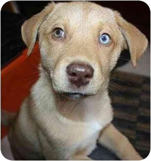 Husky/Golden Retriever Mix Puppy for adoption in Homer, New York - Savanah