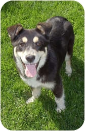 Husky/Border Collie Mix Dog for adoption in Columbia, Illinois - Elkie