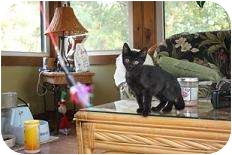 Domestic Shorthair Kitten for adoption in St. Louis, Missouri - Callie