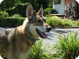 German Shepherd Dog Dog for adoption in Zanesville, Ohio - Anya