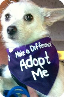 Maltese/Chihuahua Mix Puppy for adoption in Oswego, Illinois - Sno White
