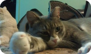 Domestic Shorthair Cat for adoption in bloomfield, New Jersey - Blue