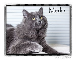 Domestic Longhair Cat for adoption in Warren, Pennsylvania - Merlin