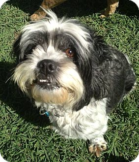 Shih Tzu/Lhasa Apso Mix Dog for adoption in North Olmsted, Ohio - Delilah