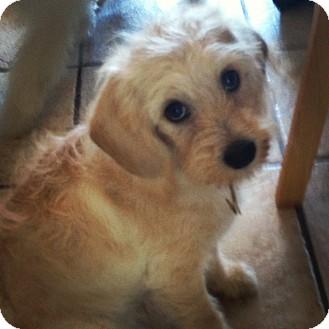 Wheaten Terrier/Cocker Spaniel Mix Puppy for adoption in El Segundo, California - Jasmine
