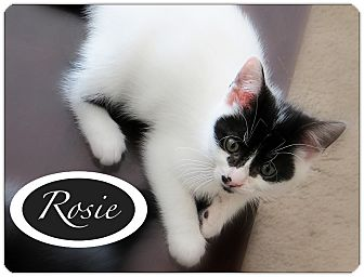 Domestic Shorthair Kitten for adoption in Chesterfield Township, Michigan - Rosie